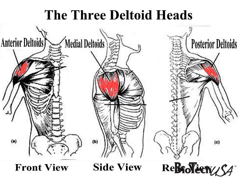 Deltové svaly